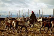 Reindeer_herding