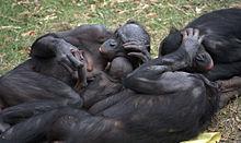 Bonobo_group_hug