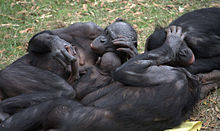 Bonobo_group_hug